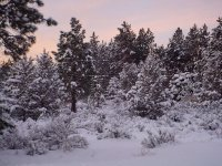 More of the snow in the junipers