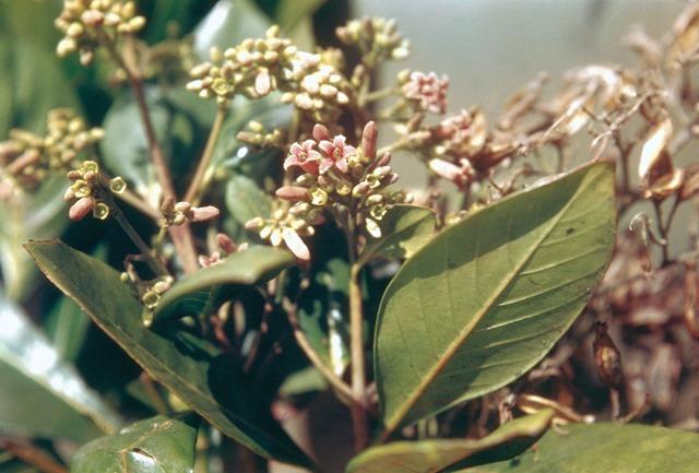Cinchona-nitida-quinine
