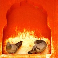 Pigeons rest in a niche at Jaigarh Fort in Jaipur