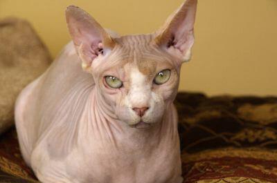 """毛のない猫のスフィンクスと、エジプトの""""あれ""""との関係は??"""