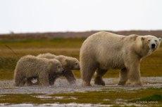 polarbearmomandcubsnanuk