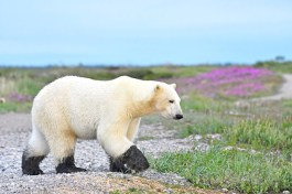 Polar-Bear-Bindi-Black-Paws-Churchill-Wild-Ian-Johnson