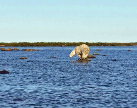 polar-bear-beluga-hunting-seal-river-churchill-wild-jayne-shepherd