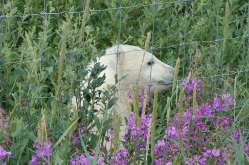 polar-bear-cub-at-fence-nanuk-polar-bear-lodge