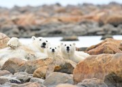 polar-bear-cubs-Cjurchill-Wild-Ian-Johnson