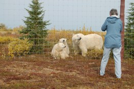 polar-bear-family-at-fence-NanukPolarBearLodge
