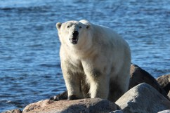 polar-bear-on-hudson-bay--seal-river-heritage-lodge-judith-herrdum