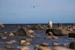 polar-bear-on-rocks-Churchill-Wild-Henrik_Egede-Lassen