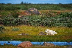 polar-bear-relaxing-summer-nanuk-polar-bear-lodge-jad-davenport