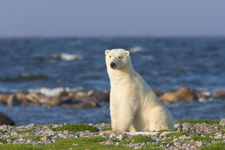 Polar bear sitting pretty at Seal River Heritage Lodge. Richard Voliva photo.
