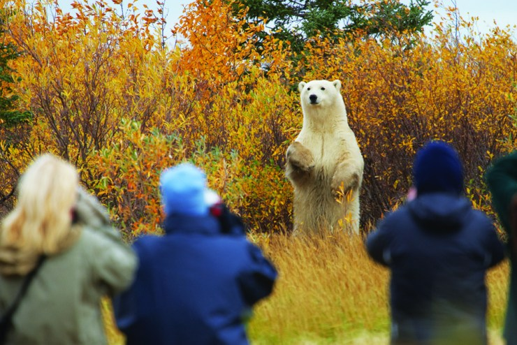 Polar bear holding court at Nanuk Polar Bear Lodge. Jerry Grajewski photo.