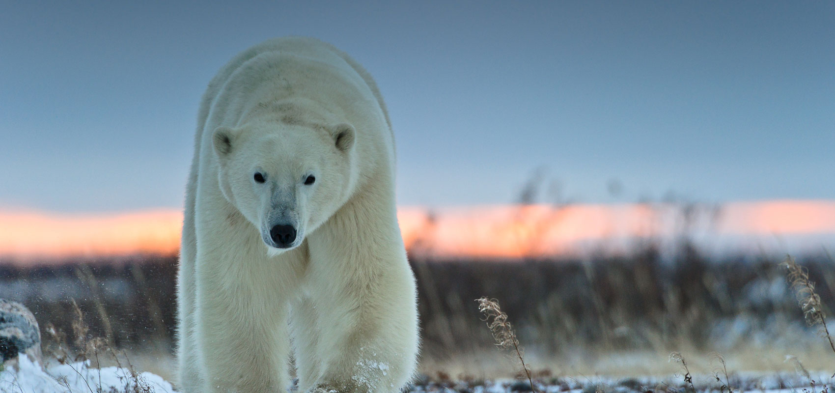 an overview of the polar bear The polar bear is the world's largest land carnivore and one of the largest of the  bear  overview distribution: northern polar regions occurring in 5 nations.