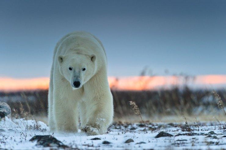 polarbearapproaching