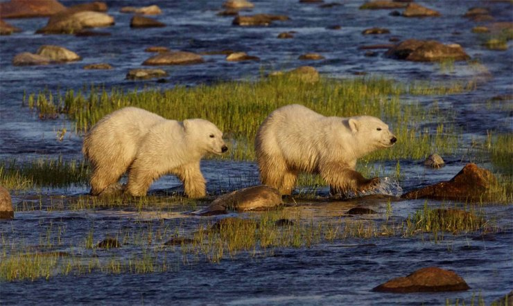 Polar bear cubs following Mom at Nanuk.