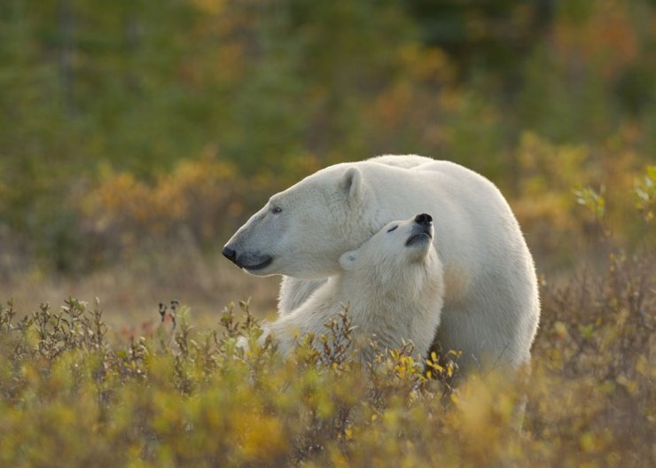 Polar mom and cub at Nanuk Polar Bear Lodge. Dennis Fast photo.
