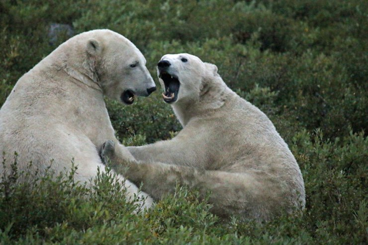 Mom and cub having a discussion at Seal River.
