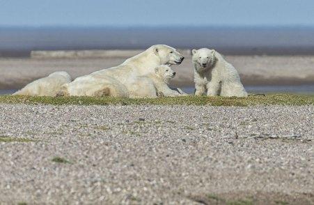 polarbearsloungingPostma