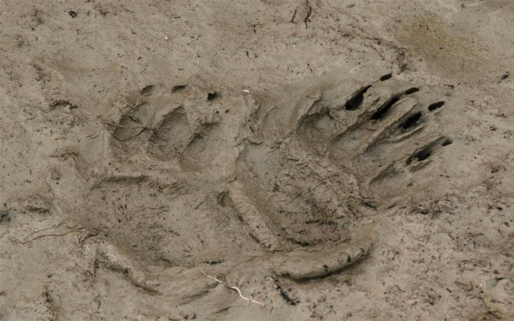 Tracking a polar bear. Jad Davenport photo.