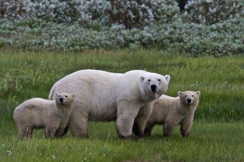 polarbearfamilylook1000
