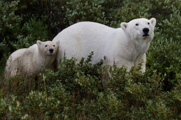 polarbearmomcub1000