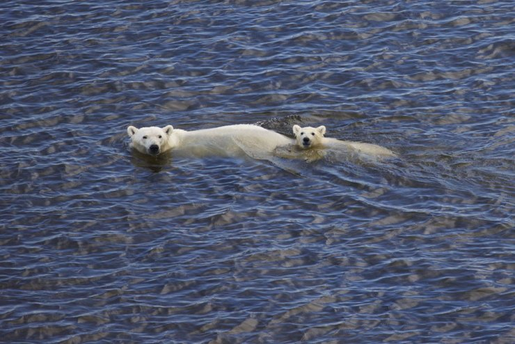 Polar bear Mom and cub swimming near Fireweed Island.