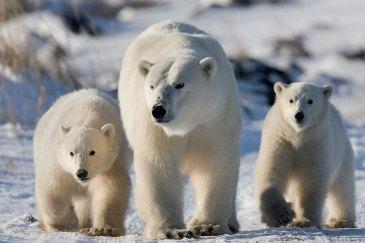 PolarBearMomAndCubsGIBPoliza