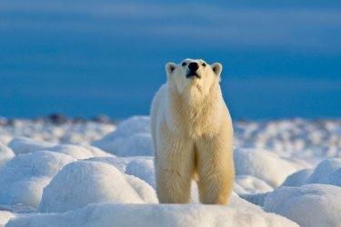 PolarBearSniffingFastGIB