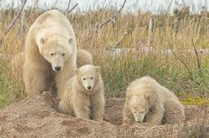arctic-discovery-bears-digging