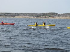 arctic-discovery-kayak-with-belugas