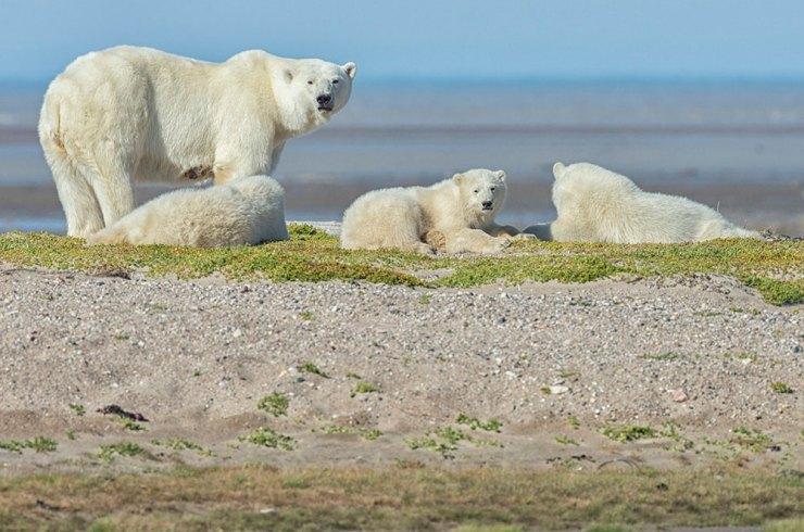 Polar bear mom and cubs on gravel bar at Nanuk.