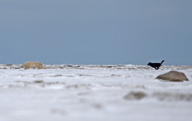 Wolf chasing polar bear at Nanuk Polar Bear Lodge. Jiangou Xie photo.