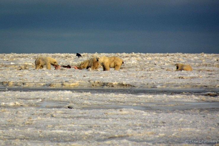 Polar bears feeding on seal at Nanuk Polar Bear Lodge.