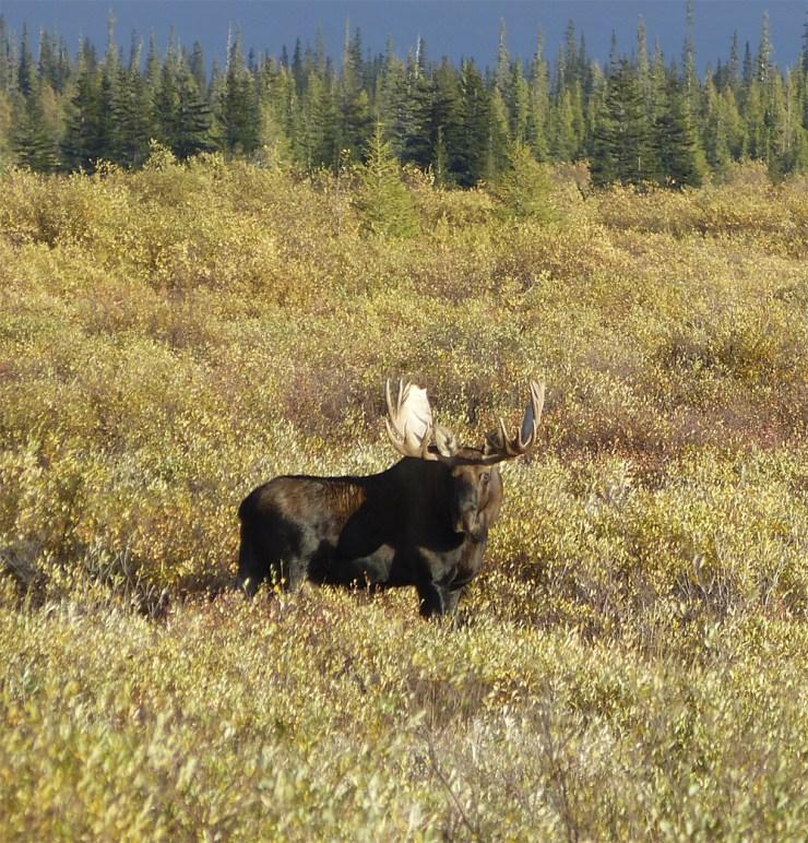 Moose pose.