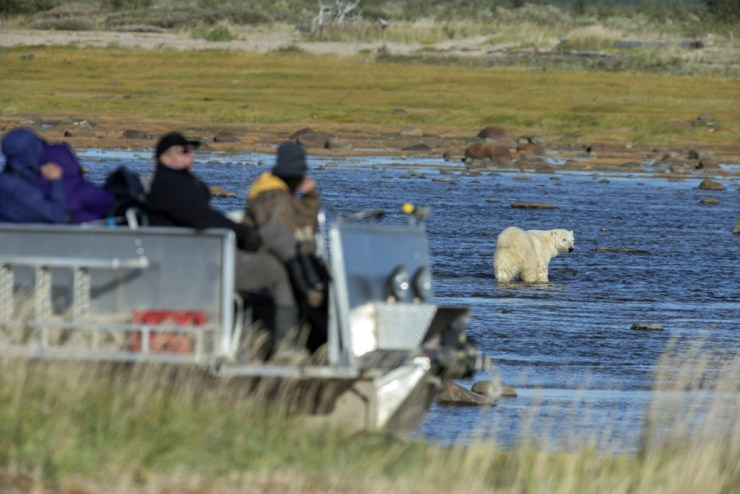 Guests observing polar bear from tundra rhino at Nanuk.