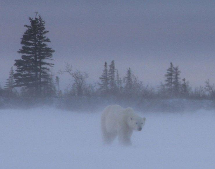 polarbearinsnow2dymondlake