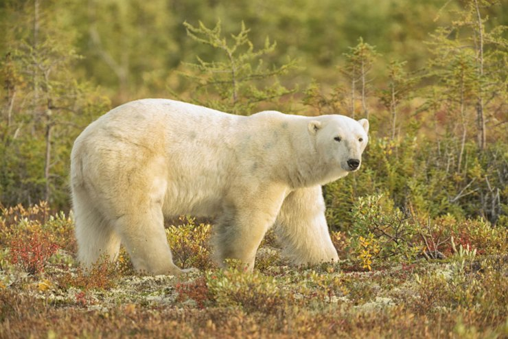 Polar bear in fall colours at Nanuk Polar Bear Lodge.