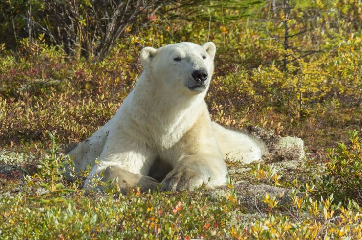 Polar bear surveys landscape at Nanuk Polar Bear Lodge.