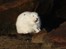 Arctic Hare at Seal River Heritage Lodge.