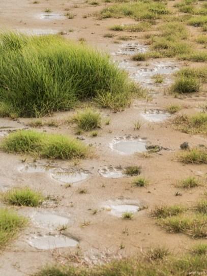 Polar bear footprints in mud.