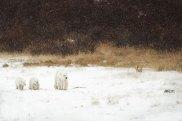 PolarBearMomCubsRyanScott