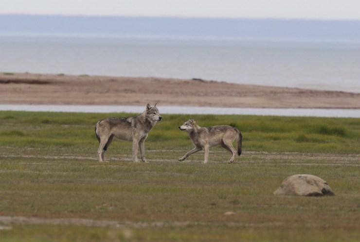 Wolves being wolves at Nauk Polar Bear Lodge.