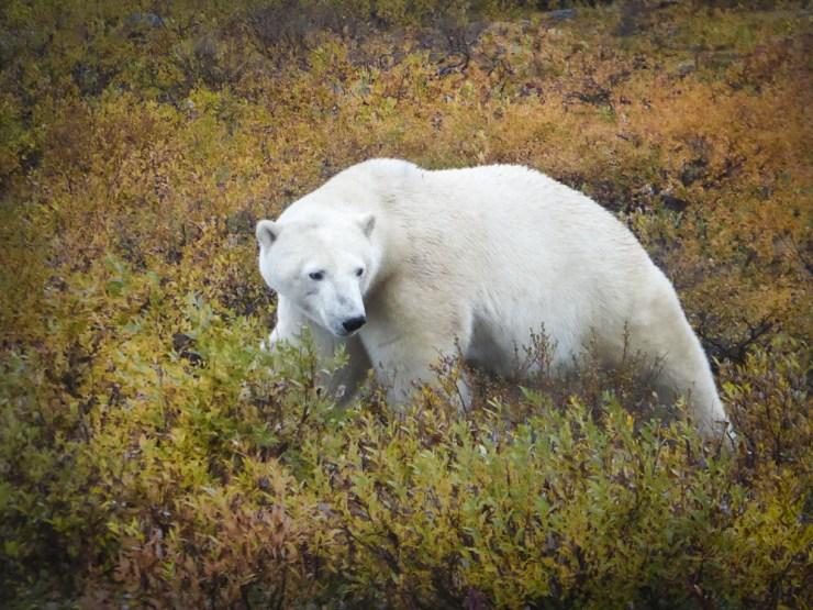 A watchful eye... Polar bear photo courtesy of Chris and Ken Lake.