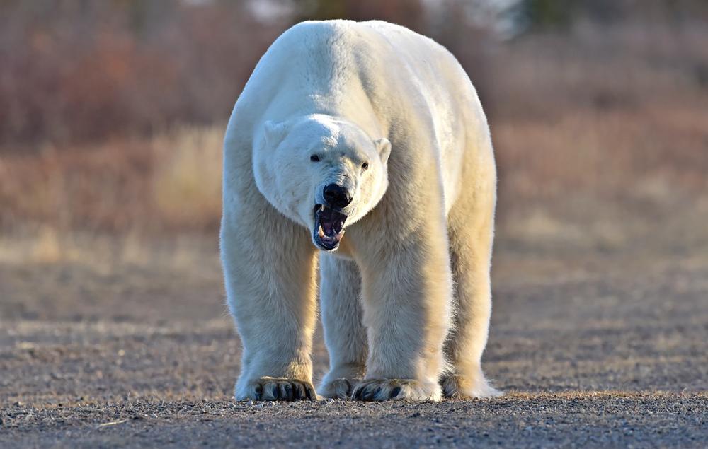Mature polar bear blogs
