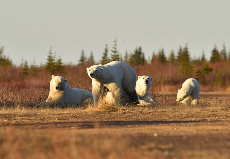 Polar bear family at Nanuk Polar Bear Lodge. Photo courtesy of Ian Johnson Safaris and Photography.