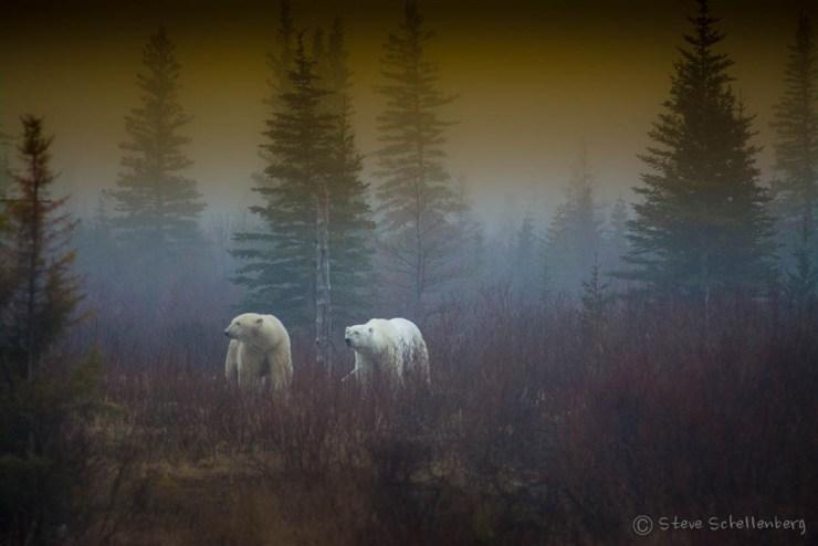 Polar bears in the mist at Nanuk. Photo by Steven Schellenberg.