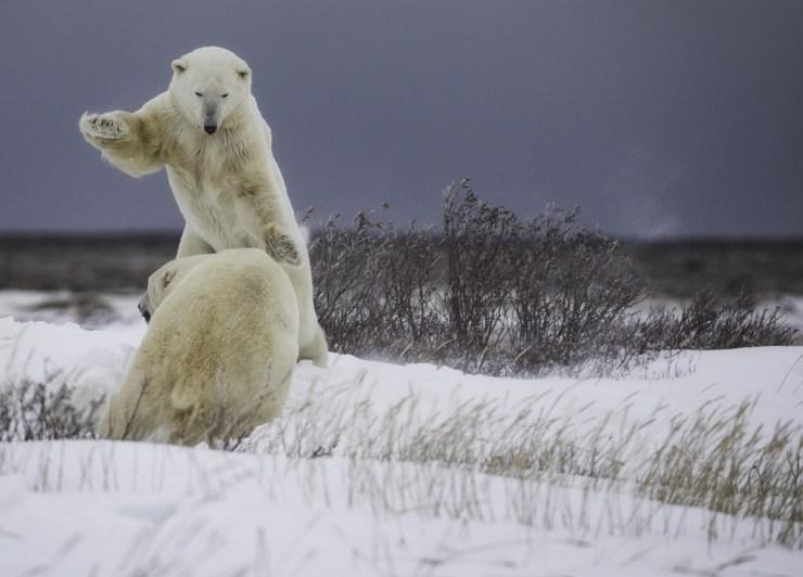 polarbearssparring2