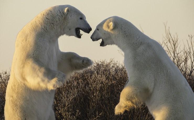 polarbearssparringdymondlak