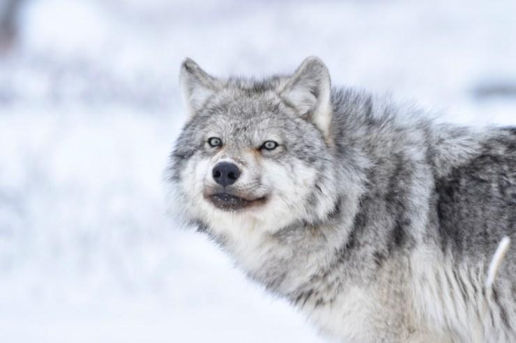 wolf2sealriverheritagelodge
