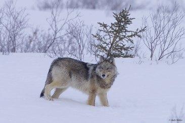 Wolf at Nanuk Polar Bear Lodge. Ian Johnson.