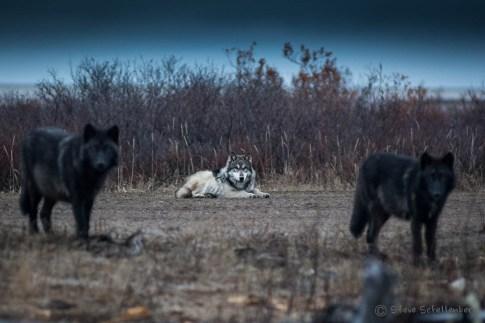 Wolves on guard at Nanuk. Steve Shellenberg.